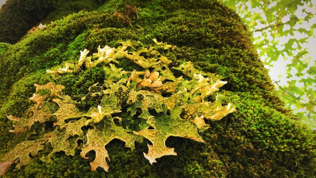 In der Feuchtigkeit der Luft bilden sich an den Bäumen schöne Moosgebilde